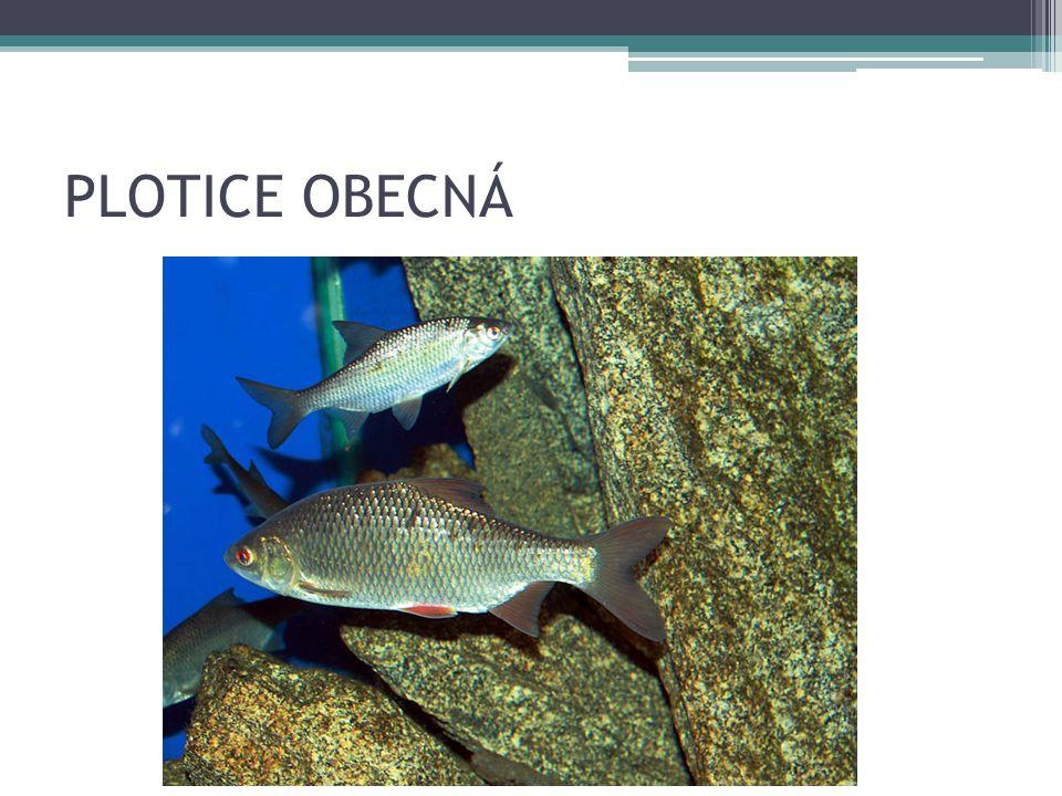 PLOTICE OBECNÁ