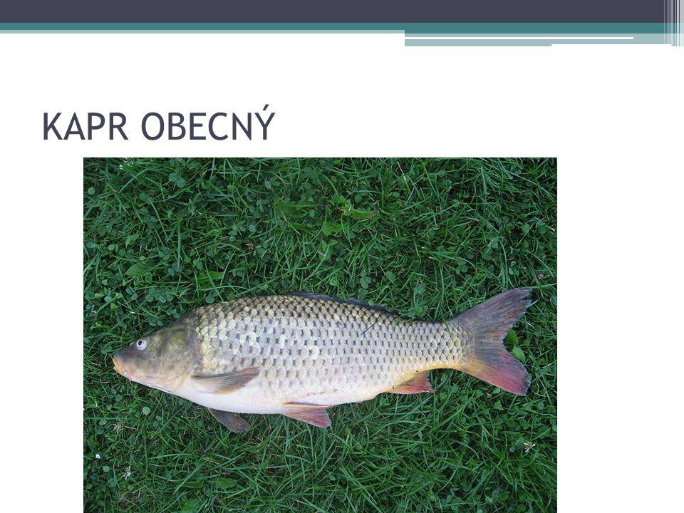 RYBY sumec velký: naše největší ryba pomalu tekoucí, stojaté vody úhoř říční: hadovité tělo na dně vod aktivní v noci