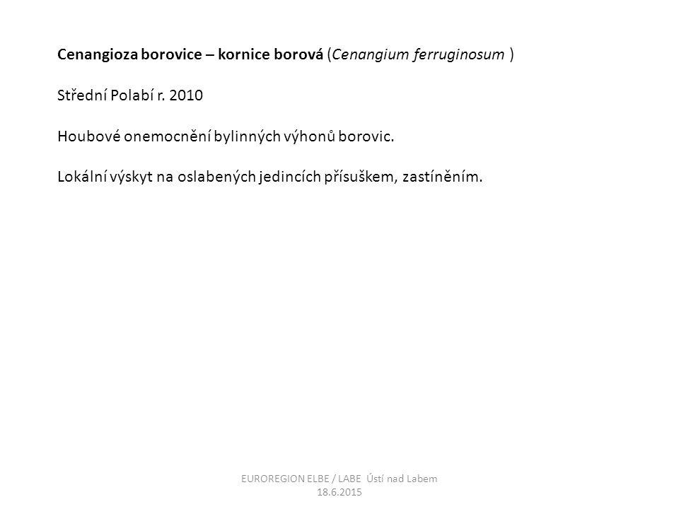 Cenangioza borovice – kornice borová (Cenangium ferruginosum ) Střední Polabí r. 2010 Houbové onemocnění bylinných výhonů borovic. Lokální výskyt na o