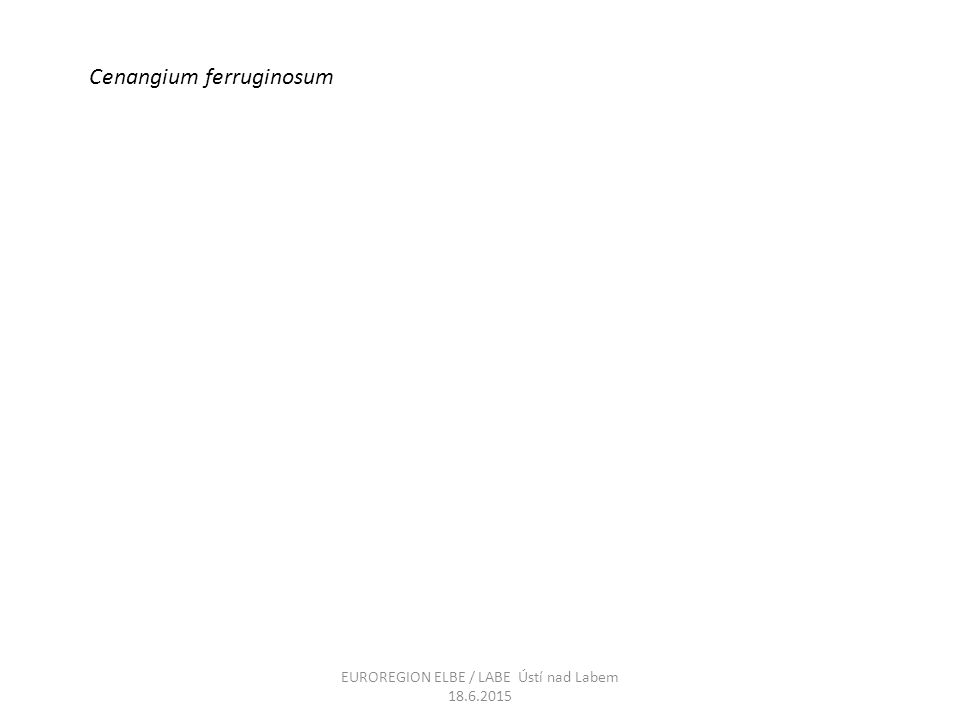 Cenangium ferruginosum EUROREGION ELBE / LABE Ústí nad Labem 18.6.2015