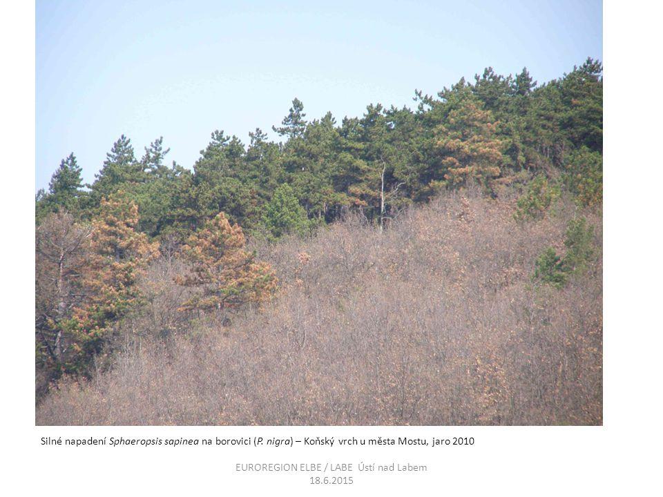 Silné napadení Sphaeropsis sapinea na borovici (P. nigra) – Koňský vrch u města Mostu, jaro 2010 EUROREGION ELBE / LABE Ústí nad Labem 18.6.2015