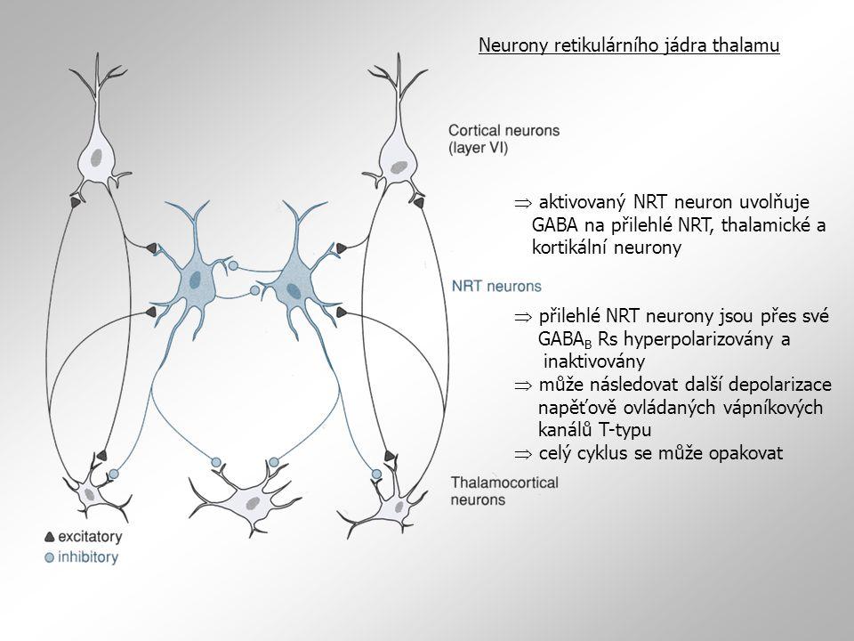  aktivovaný NRT neuron uvolňuje GABA na přilehlé NRT, thalamické a kortikální neurony  přilehlé NRT neurony jsou přes své GABA B Rs hyperpolarizován