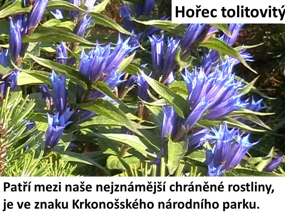 Hořec tolitovitý Patří mezi naše nejznámější chráněné rostliny, je ve znaku Krkonošského národního parku. 2