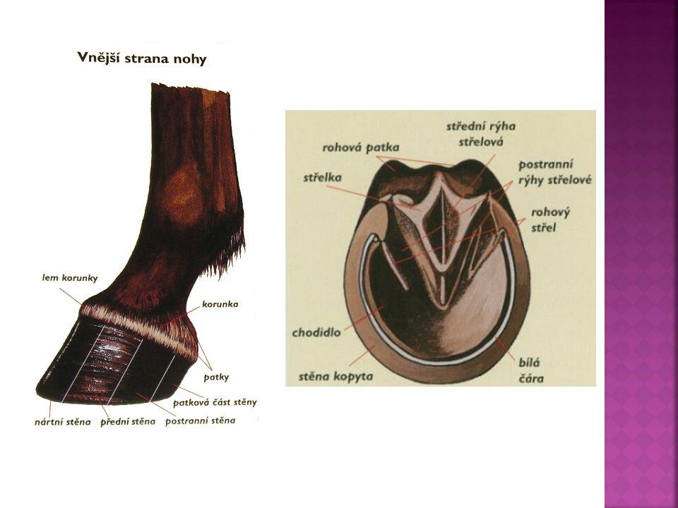  Všechny plemena koní mají 3 druhy chodů: 1.krok 2.klus 3.cval  Krok-nejpomalejší chod, má 4 doby, končetiny se zvedají od země v pravidelném pořadí  Klus-nohy se pohybují v diagonále, má 2 doby  Cval-třídobý chod, střídají se pravá zadní, potom zároveň pravá přední s levou zadní a nakonec levá přední  Pass a Tolt má jen několik málo plemen koní(tennesseeský mimochodník, islandský kůň,…)  Pass-při passu de končetiny pohybují sagitálně, tedy najednou pravá přední i zadní a levá přední i zadní  Tolt-je typický pro Islandské koně, je to zrychlený krok až do cvalu(,,běžící chůze )