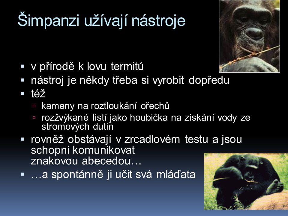 Šimpanzi užívají nástroje  v přírodě k lovu termitů  nástroj je někdy třeba si vyrobit dopředu  též  kameny na roztloukání ořechů  rozžvýkané listí jako houbička na získání vody ze stromových dutin  rovněž obstávají v zrcadlovém testu a jsou schopni komunikovat znakovou abecedou…  …a spontánně ji učit svá mláďata
