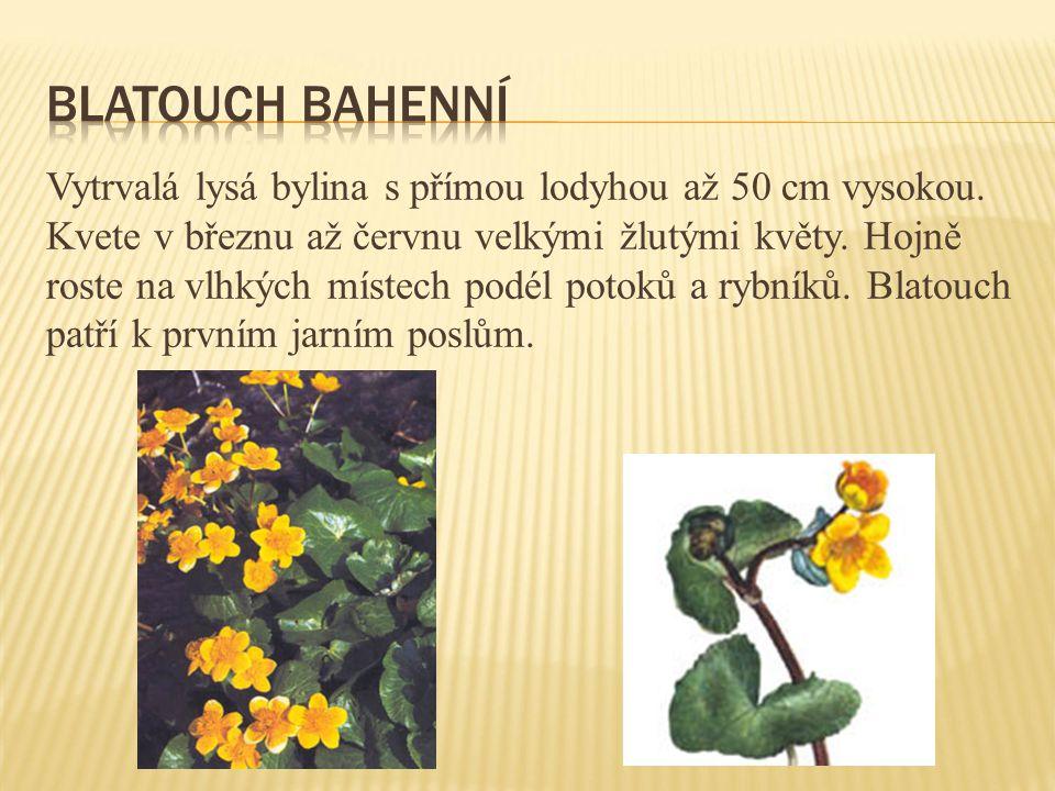 Vytrvalá lysá bylina s přímou lodyhou až 50 cm vysokou. Kvete v březnu až červnu velkými žlutými květy. Hojně roste na vlhkých místech podél potoků a