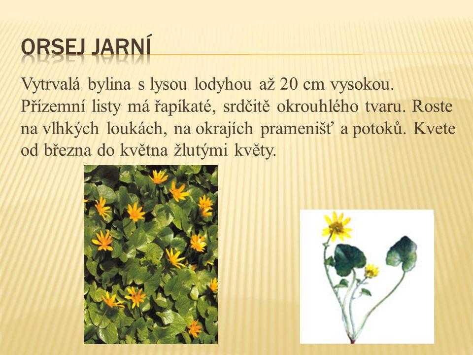 Vytrvalá bylina s lysou lodyhou až 20 cm vysokou. Přízemní listy má řapíkaté, srdčitě okrouhlého tvaru. Roste na vlhkých loukách, na okrajích prameniš