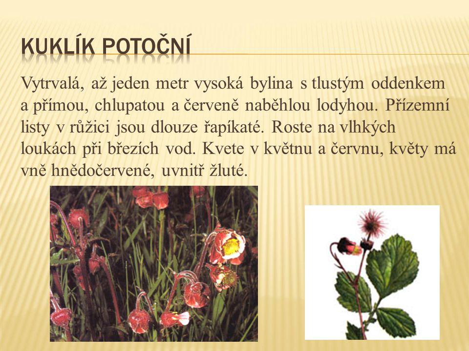 Vytrvalá, až jeden metr vysoká bylina s tlustým oddenkem a přímou, chlupatou a červeně naběhlou lodyhou. Přízemní listy v růžici jsou dlouze řapíkaté.