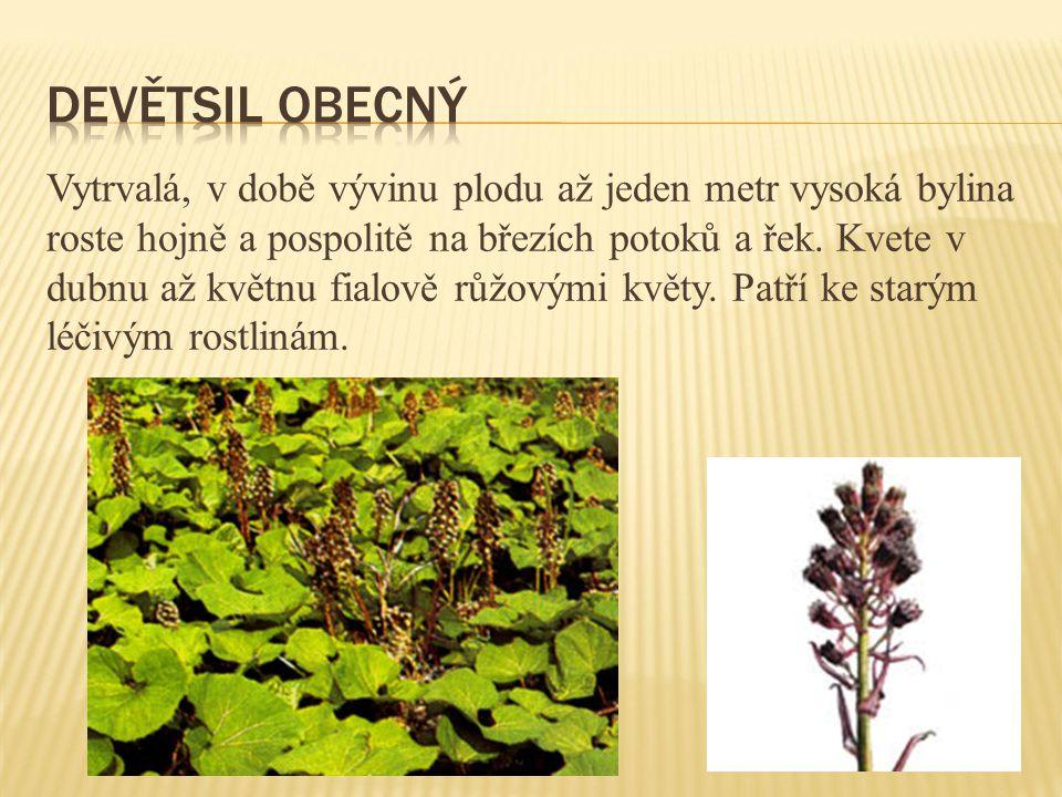 Vytrvalá, v době vývinu plodu až jeden metr vysoká bylina roste hojně a pospolitě na březích potoků a řek. Kvete v dubnu až květnu fialově růžovými kv