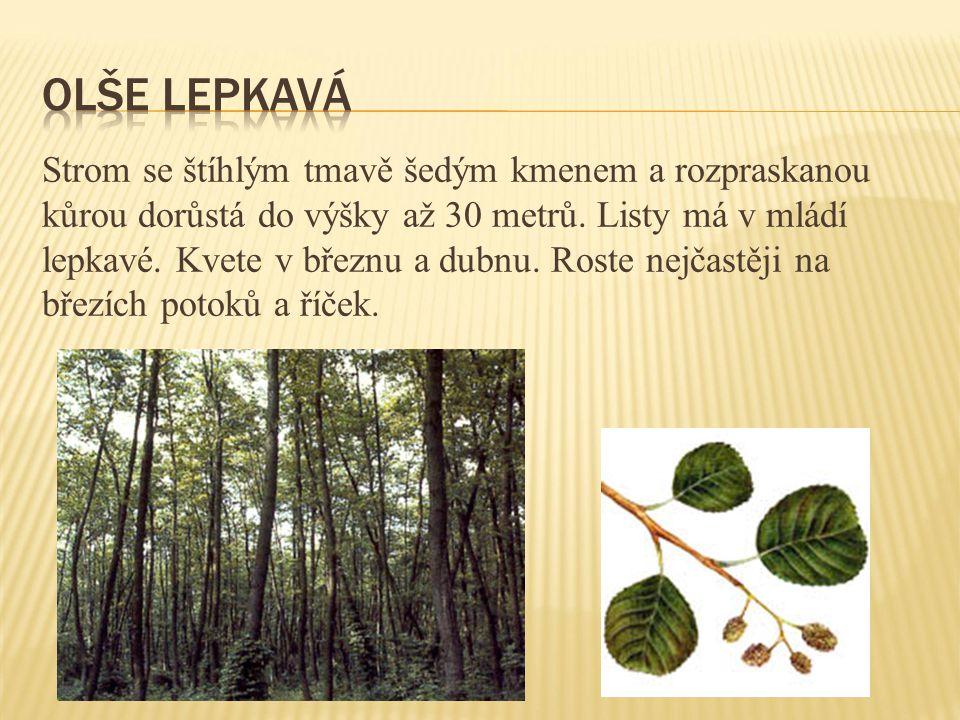 Strom se štíhlým tmavě šedým kmenem a rozpraskanou kůrou dorůstá do výšky až 30 metrů. Listy má v mládí lepkavé. Kvete v březnu a dubnu. Roste nejčast