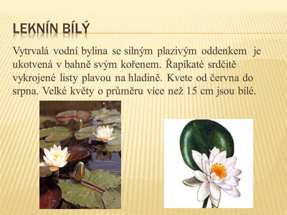 Vytrvalá vodní bylina se silným plazivým oddenkem je ukotvená v bahně svým kořenem. Řapíkaté srdčitě vykrojené listy plavou na hladině. Kvete od červn