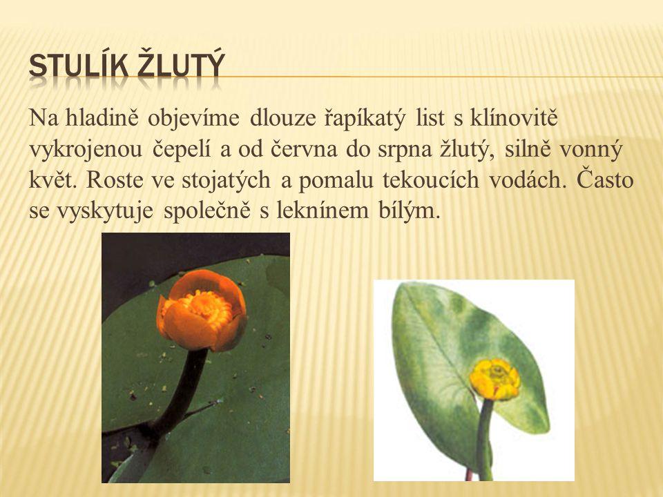 Na hladině objevíme dlouze řapíkatý list s klínovitě vykrojenou čepelí a od června do srpna žlutý, silně vonný květ. Roste ve stojatých a pomalu tekou