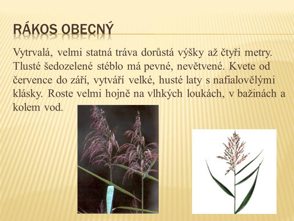 Vytrvalá, velmi statná tráva dorůstá výšky až čtyři metry. Tlusté šedozelené stéblo má pevné, nevětvené. Kvete od července do září, vytváří velké, hus