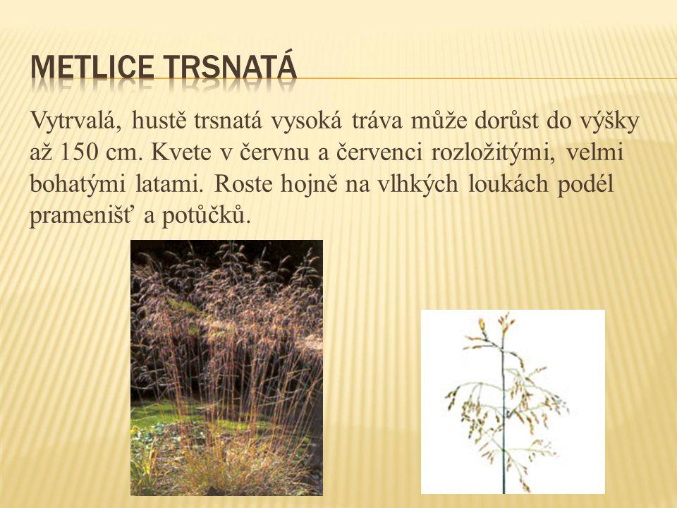 Vytrvalá, hustě trsnatá vysoká tráva může dorůst do výšky až 150 cm. Kvete v červnu a červenci rozložitými, velmi bohatými latami. Roste hojně na vlhk
