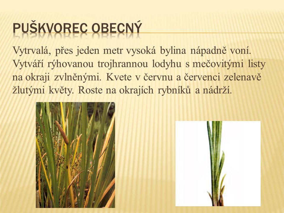 Vytrvalá, přes jeden metr vysoká bylina nápadně voní. Vytváří rýhovanou trojhrannou lodyhu s mečovitými listy na okraji zvlněnými. Kvete v červnu a če