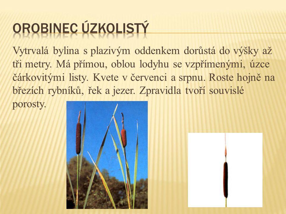 Vytrvalá bylina s plazivým oddenkem dorůstá do výšky až tři metry. Má přímou, oblou lodyhu se vzpřímenými, úzce čárkovitými listy. Kvete v červenci a