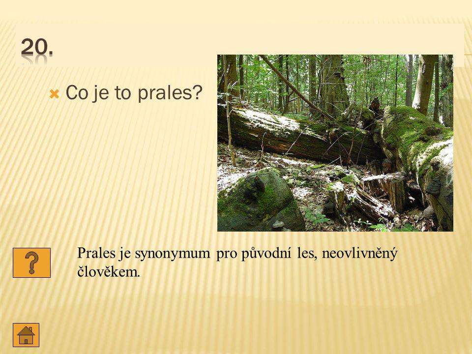  Co je to prales? Prales je synonymum pro původní les, neovlivněný člověkem.