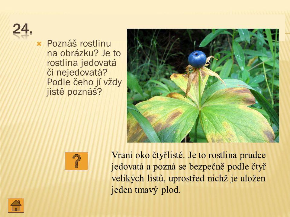  Poznáš rostlinu na obrázku.Je to rostlina jedovatá či nejedovatá.