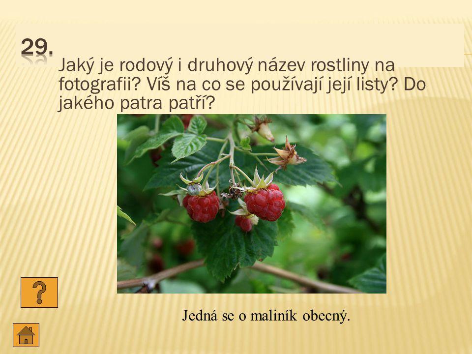 Jaký je rodový i druhový název rostliny na fotografii.