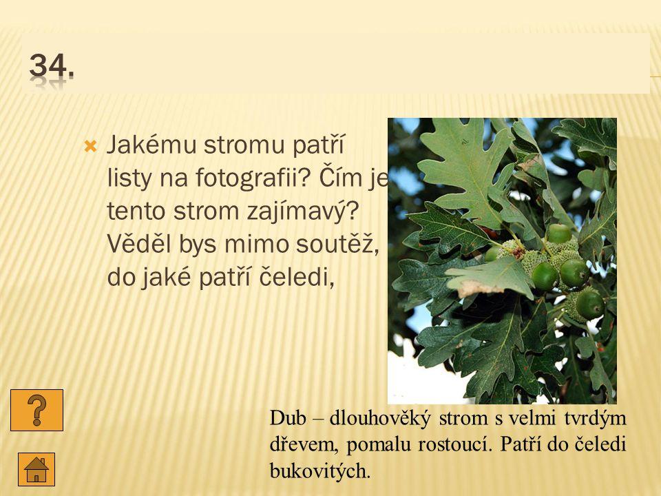  Jakému stromu patří listy na fotografii.Čím je tento strom zajímavý.