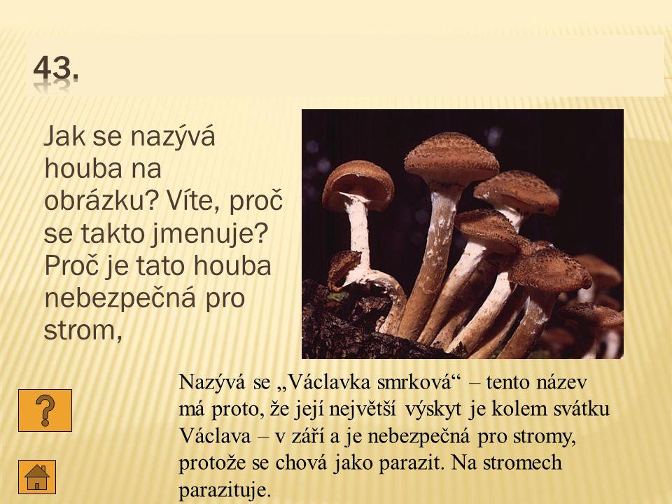 Jak se nazývá houba na obrázku.Víte, proč se takto jmenuje.
