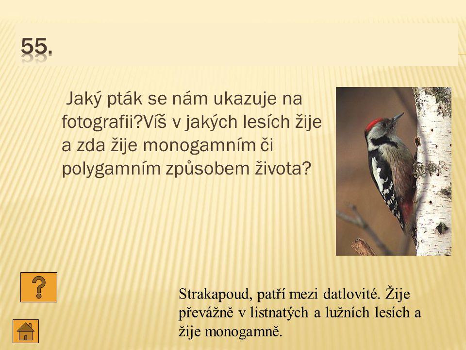 Jaký pták se nám ukazuje na fotografii?Víš v jakých lesích žije a zda žije monogamním či polygamním způsobem života.