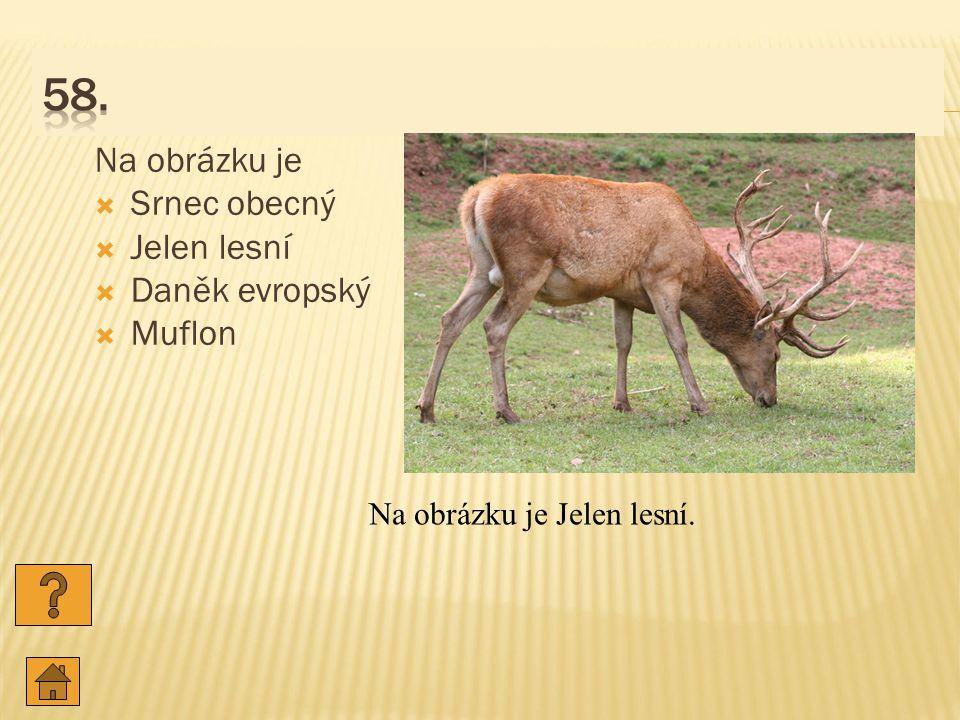 Na obrázku je  Srnec obecný  Jelen lesní  Daněk evropský  Muflon Na obrázku je Jelen lesní.