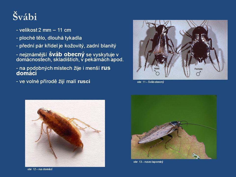 Švábi - velikost 2 mm – 11 cm - ploché tělo, dlouhá tykadla - přední pár křídel je kožovitý, zadní blanitý - nejznámější šváb obecný se vyskytuje v do