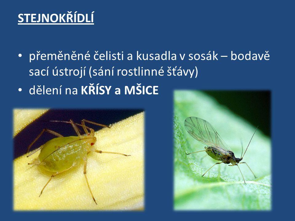 Švábi - velikost 2 mm – 11 cm - ploché tělo, dlouhá tykadla - přední pár křídel je kožovitý, zadní blanitý - nejznámější šváb obecný se vyskytuje v domácnostech, skladištích, v pekárnách apod.