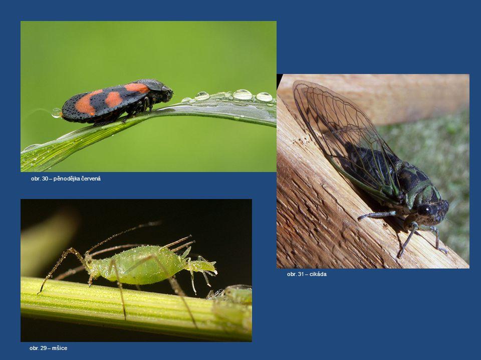 KŘÍSY Cikády teplé oblasti cvrčivé zvuky larvy žijí hluboko v zemi dlouhý život larvy (až 17let) CIKÁDA SEDMNÁCTILETÁ http://www.youtube.com/watch?v=v-kyil5d69I Pěnodějky chomáčky bílé pěny (obalení larev) MŠICE– paraziti rostlin (symbióza s mravenci, přirozený nepřítel slunéčko sedmitečné a larvy zlatooček) další paraziti: VLNATKA KRVAVÁ, PUKLICE ŠVESTKOVÁ, MOLICE SKLENÍKOVÁ