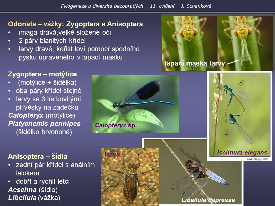 Zygoptera – motýlice (motýlice + šidélka) oba páry křídel stejné larvy se 3 lístkovitými přívěsky na zadečku Calopteryx (motýlice) Platycnemis pennipe