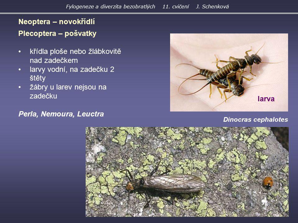 Dinocras cephalotes Plecoptera – pošvatky křídla ploše nebo žlábkovitě nad zadečkem larvy vodní, na zadečku 2 štěty žábry u larev nejsou na zadečku Pe
