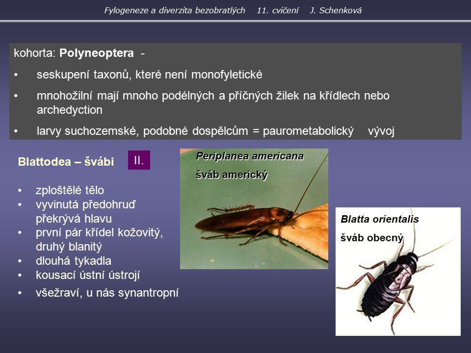 Periplanea americana šváb americký Blatta orientalis šváb obecný Blattodea – švábi zploštělé tělo vyvinutá předohruď překrývá hlavu první pár křídel k