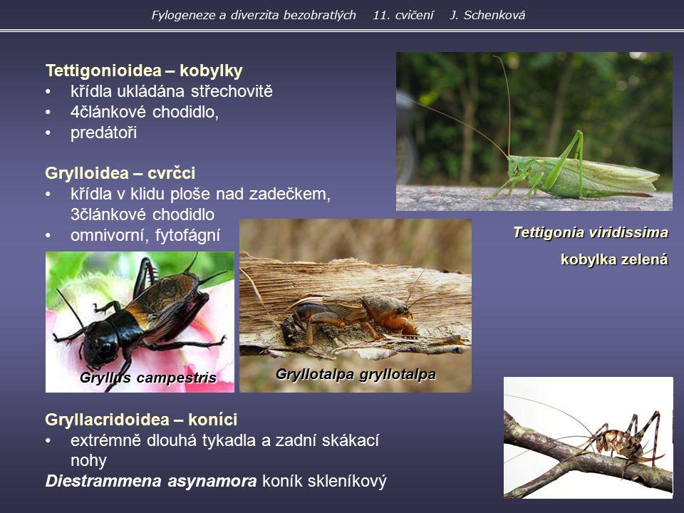Tettigonioidea – kobylky křídla ukládána střechovitě 4článkové chodidlo, predátoři Grylloidea – cvrčci křídla v klidu ploše nad zadečkem, 3článkové ch