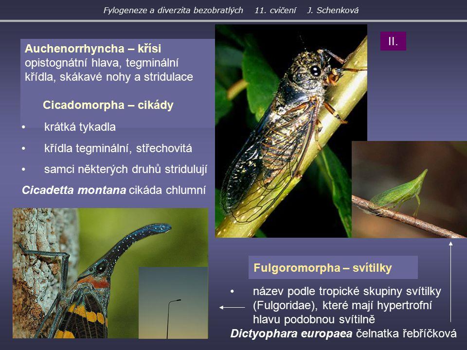Fulgoromorpha – svítilky Auchenorrhyncha – křísi opistognátní hlava, tegminální křídla, skákavé nohy a stridulace Cicadomorpha – cikády krátká tykadla