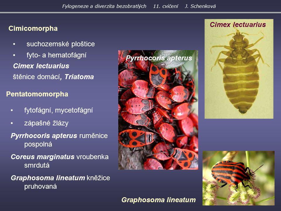 suchozemské ploštice fyto- a hematofágní Cimex lectuarius štěnice domácí, Triatoma Cimicomorpha Pentatomomorpha fytofágní, mycetofágní zápašné žlázy P