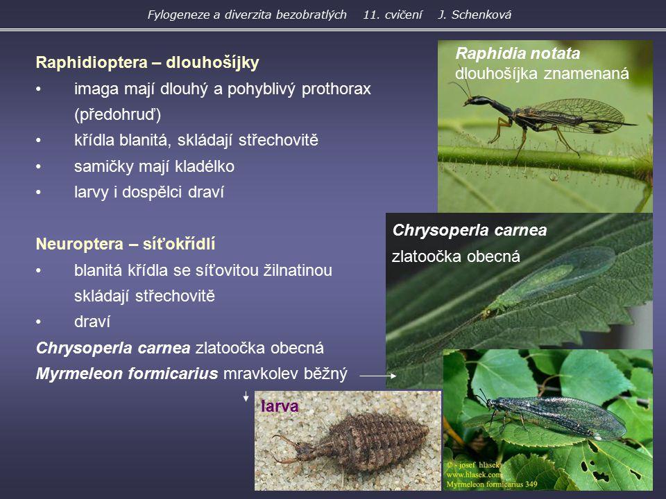 Raphidioptera – dlouhošíjky imaga mají dlouhý a pohyblivý prothorax (předohruď) křídla blanitá, skládají střechovitě samičky mají kladélko larvy i dos