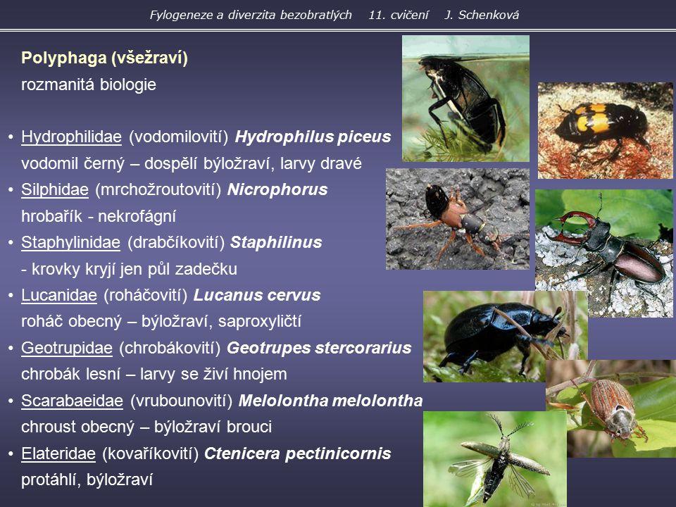 Polyphaga (všežraví) rozmanitá biologie Hydrophilidae (vodomilovití) Hydrophilus piceus vodomil černý – dospělí býložraví, larvy dravé Silphidae (mrch