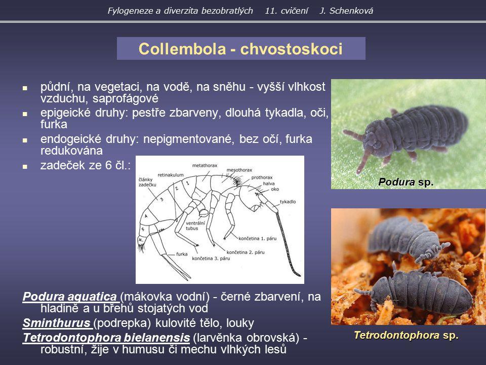 Tettigonioidea – kobylky křídla ukládána střechovitě 4článkové chodidlo, predátoři Grylloidea – cvrčci křídla v klidu ploše nad zadečkem, 3článkové chodidlo omnivorní, fytofágní Gryllacridoidea – koníci extrémně dlouhá tykadla a zadní skákací nohy Diestrammena asynamora koník skleníkový Tettigonia viridissima kobylka zelená Gryllus campestris Fylogeneze a diverzita bezobratlých 11.