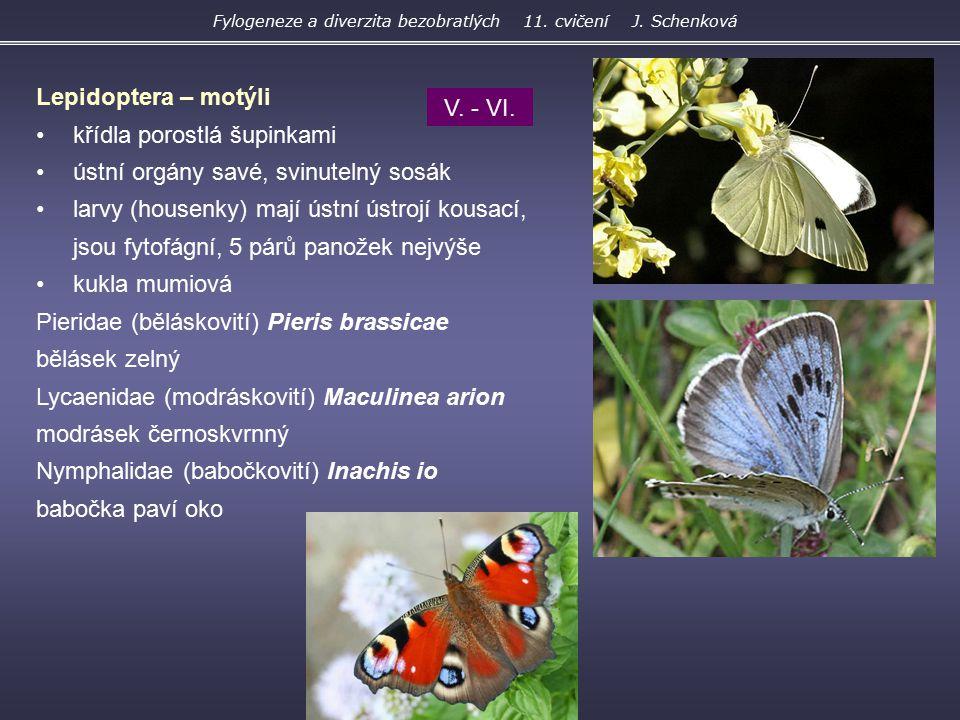 Lepidoptera – motýli křídla porostlá šupinkami ústní orgány savé, svinutelný sosák larvy (housenky) mají ústní ústrojí kousací, jsou fytofágní, 5 párů