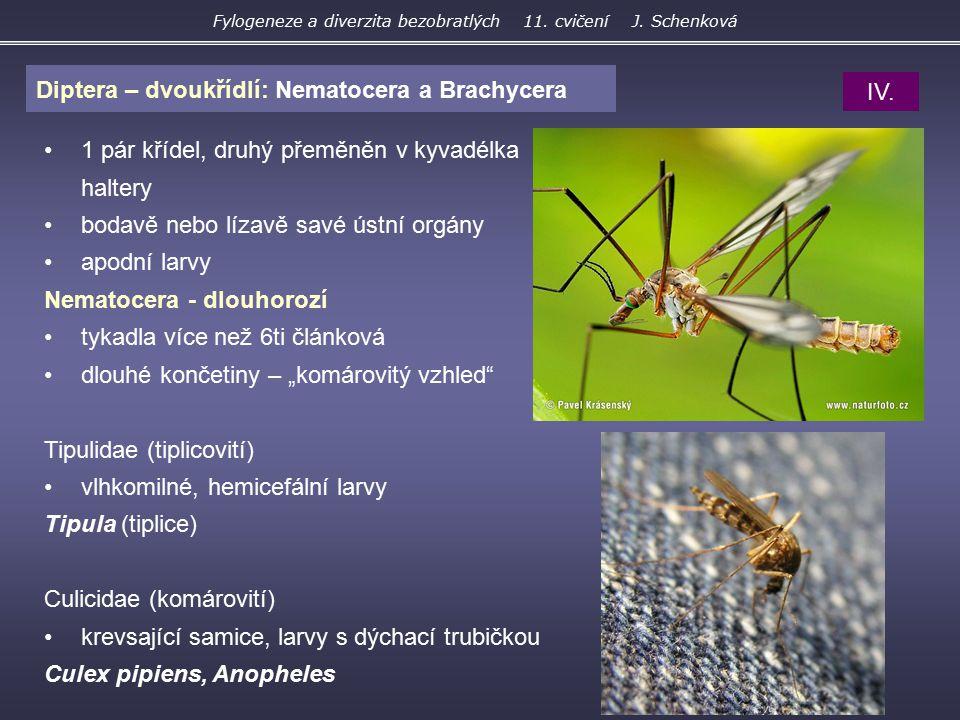 Diptera – dvoukřídlí: Nematocera a Brachycera 1 pár křídel, druhý přeměněn v kyvadélka haltery bodavě nebo lízavě savé ústní orgány apodní larvy Nemat