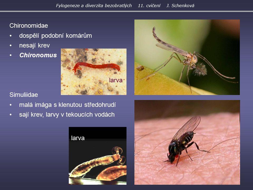 Chironomidae dospělí podobní komárům nesají krev Chironomus Simuliidae malá imága s klenutou středohrudí sají krev, larvy v tekoucích vodách larva Fyl