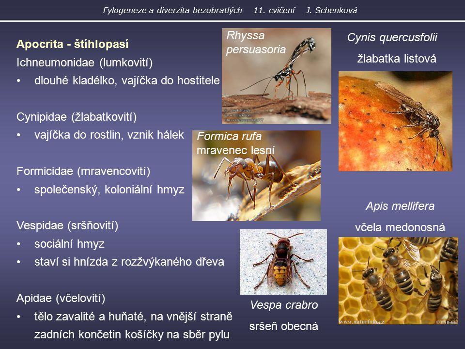 Apocrita - štíhlopasí Ichneumonidae (lumkovití) dlouhé kladélko, vajíčka do hostitele Cynipidae (žlabatkovití) vajíčka do rostlin, vznik hálek Formici
