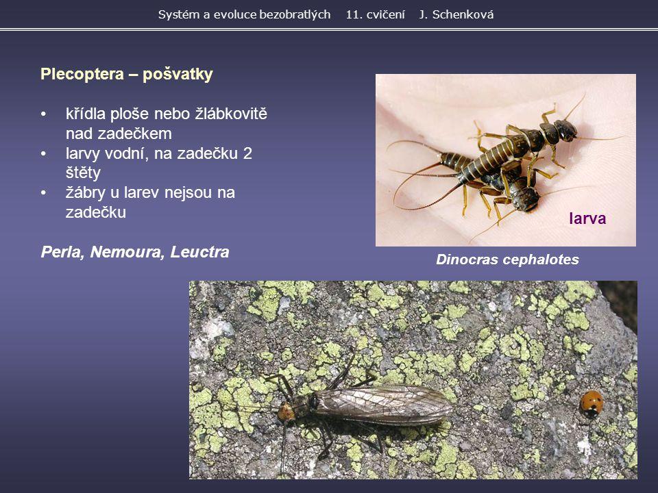 Systém a evoluce bezobratlých 11. cvičení J. Schenková Dinocras cephalotes Plecoptera – pošvatky křídla ploše nebo žlábkovitě nad zadečkem larvy vodní