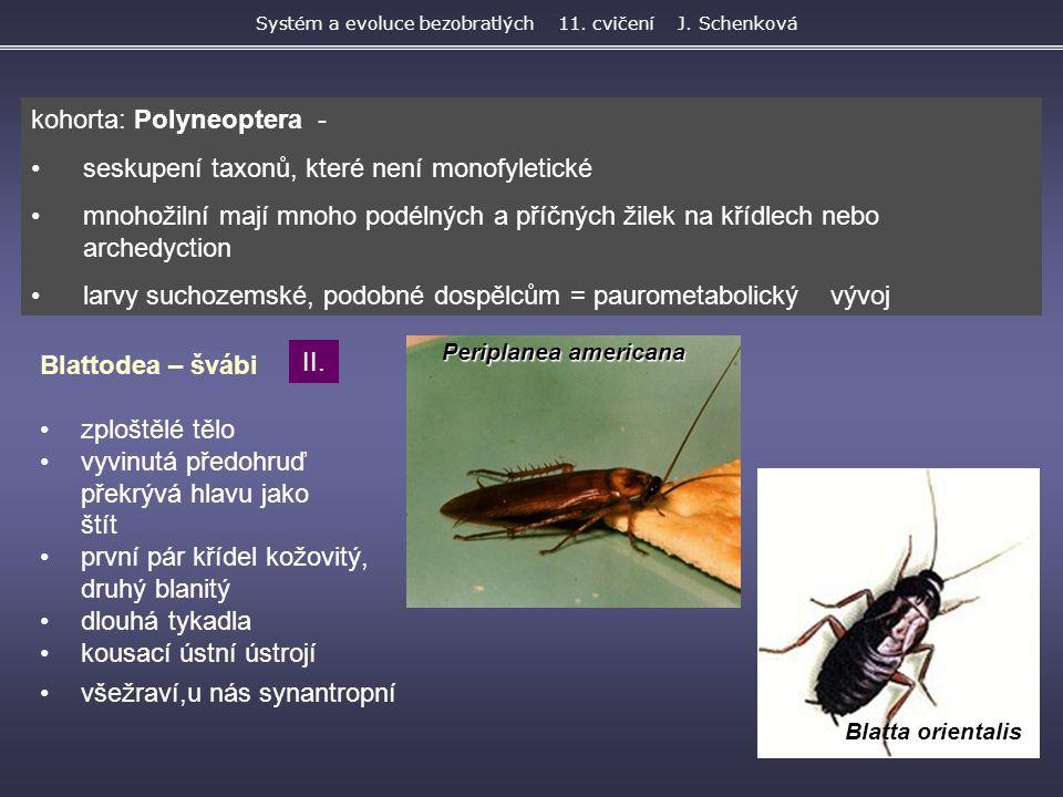 Periplanea americana Blatta orientalis Systém a evoluce bezobratlých 11. cvičení J. Schenková Blattodea – švábi zploštělé tělo vyvinutá předohruď přek