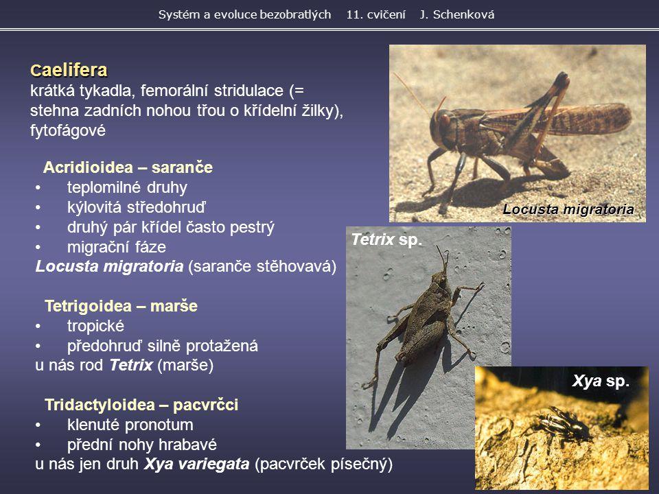 Locusta migratoria Acridioidea – saranče teplomilné druhy kýlovitá středohruď druhý pár křídel často pestrý migrační fáze Locusta migratoria (saranče