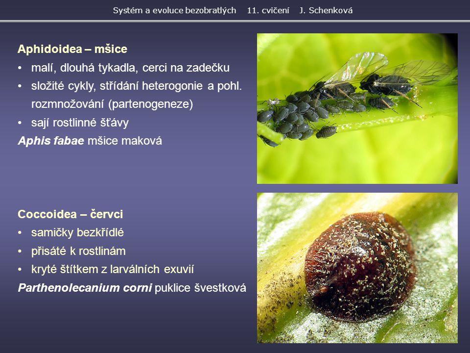 Aphidoidea – mšice malí, dlouhá tykadla, cerci na zadečku složité cykly, střídání heterogonie a pohl. rozmnožování (partenogeneze) sají rostlinné šťáv