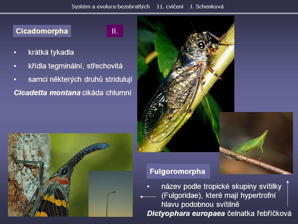 Fulgoromorpha Systém a evoluce bezobratlých 11. cvičení J. Schenková Cicadomorpha krátká tykadla křídla tegminální, střechovitá samci některých druhů