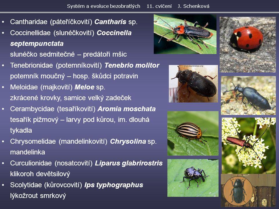 Cantharidae (páteříčkovití) Cantharis sp. Coccinellidae (slunéčkovití) Coccinella septempunctata slunéčko sedmitečné – predátoři mšic Tenebrionidae (p
