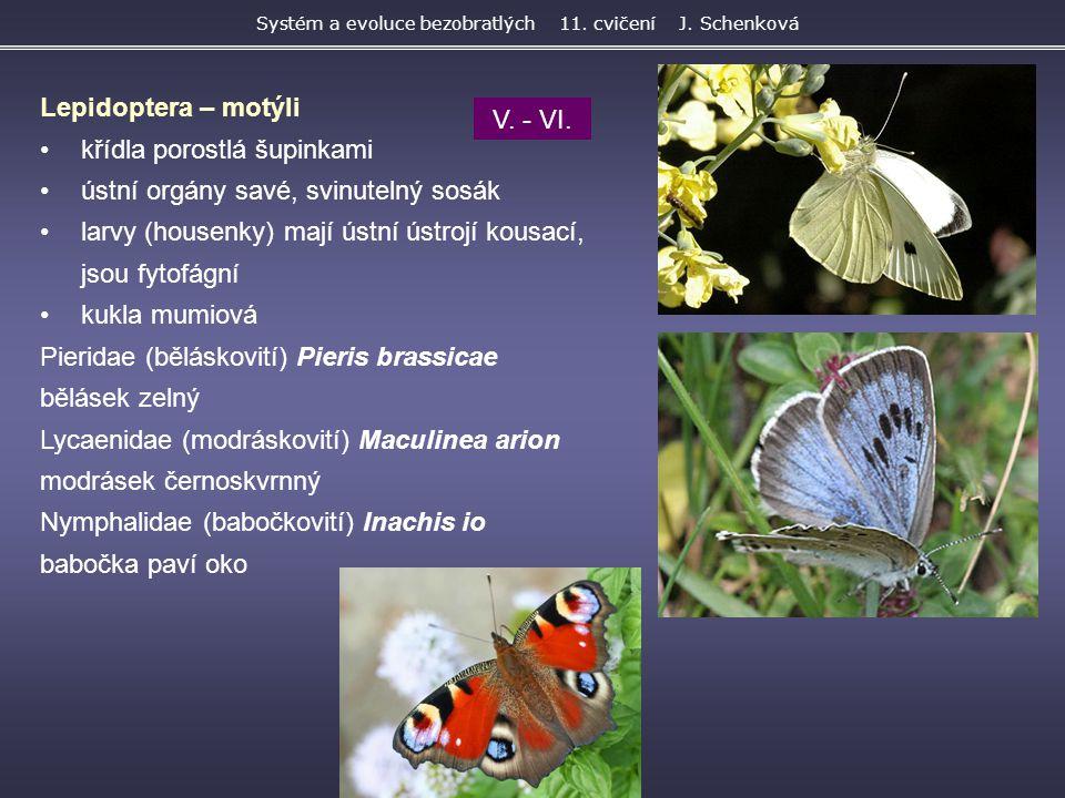 Lepidoptera – motýli křídla porostlá šupinkami ústní orgány savé, svinutelný sosák larvy (housenky) mají ústní ústrojí kousací, jsou fytofágní kukla m